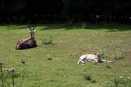 View on an antelope with the baby lying on the grass at the zoo in germany photographed during a walk through the zoo in germany Imagens