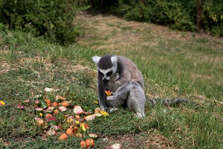 A katta sitting on a grass eating fruit at the zoo in germany photographed during a walk through the zoo in germany Banco de Imagens