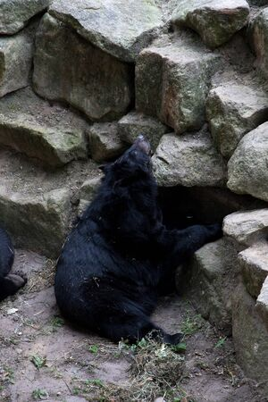 A black bear looking up at the zoo in germany photographed during a walk through the zoo in germany