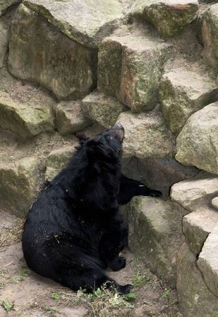 A black bear chilling at stones at the zoo in germany photographed during a walk through the zoo in germany Imagens