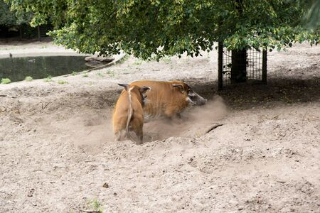 Two fighting pigs at the zoo in germany photographed during a walk through the zoo in germany