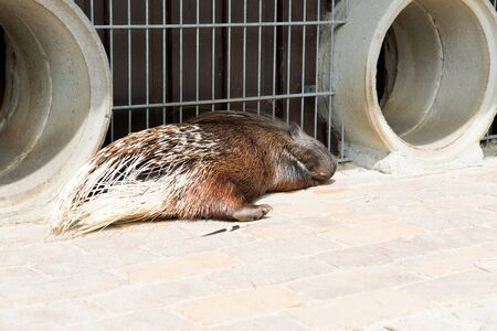 A porcupine lying on the ground at a zoo in germany photographed on a sunny day in multi colored