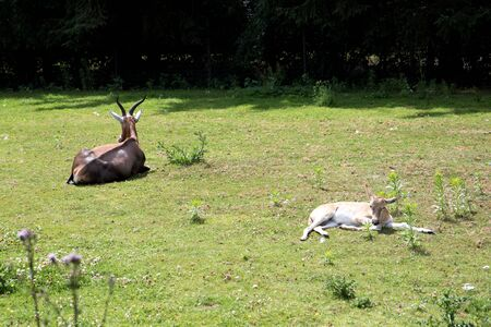 An antelope with a baby on a grass area in a zoo in germany photographed on a sunny day in multi colored Stockfoto