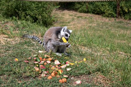 One katta eating melon in a zoo in germany photographed on a sunny day in multi colored