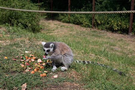 View on a katta in front of his fruits on a grass area in a zoo in Germany
