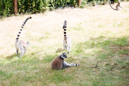 A group of kattas on a grass area at a zoo in germany photographed on a sunny day in multi colored