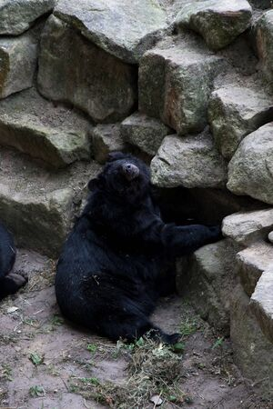 A black bear is looking at camera in a zoo in germany photographed on a sunny day in multi colored