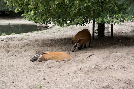 Two pigs on a sand area in a zoo in germany photographed on a sunny day in multi colored Stockfoto