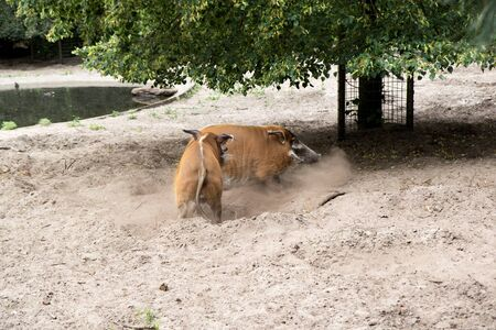 Two pigs running on each other in a zoo in Germany Stockfoto