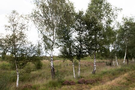 Closer view on birches in the moor in Herzlake Emsland Germany photographed on a walk through the moor on a sunny day