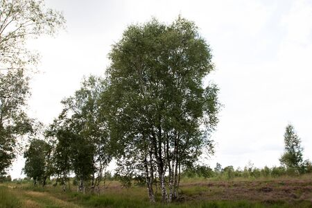 Distant view on birches in the bog in Herzlake Emsland Germany photographed on a walk through the moor on a sunny day