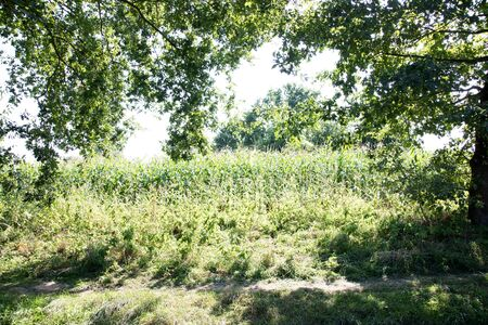 View on a corn field in laten emsland germany photographed during a walk in the nature on a sunny day