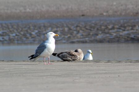 View on three gulls at the watt on the northern sea island Stockfoto - 131639627
