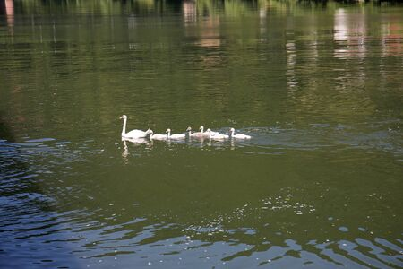 View on a Swan Family on the Neckar River in Heidelberg Germany. Photographed during a tour by ship on the Neckar in Germany Stockfoto - 131641586