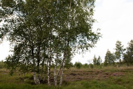 View on a natural bog landscape with closer birches in germany