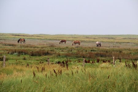 Distant view on a grass area with horses at the northern sea island juist germany