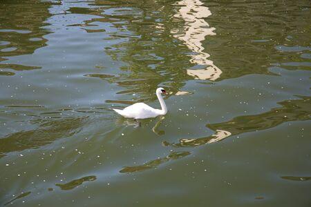 View on a swan on the neckar in heidelberg germany
