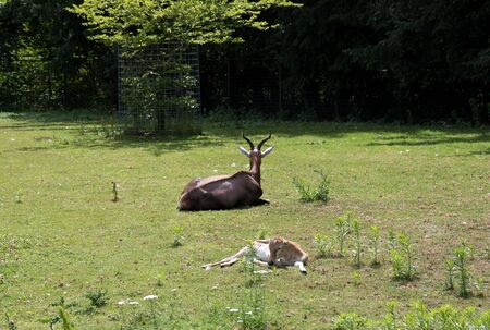 View on a antelope and a new born lying on the grass area in a park in Germany