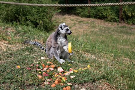 Side view of a katta with a honey melone and fruits on the ground in a park in germany Stockfoto