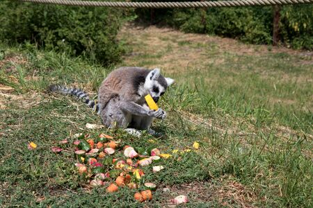 View on a katta eating a honey melone in a park in germany Stockfoto
