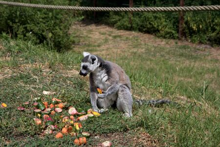 Side view on a katta sitting on a ground surrounded by fruits in a park in germany