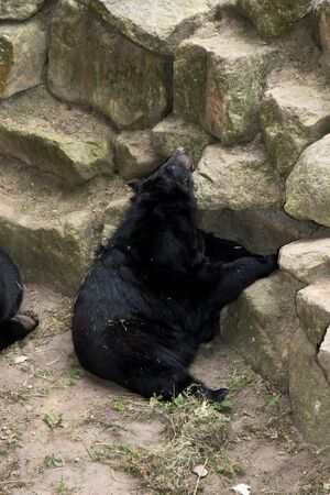 View on a black bear surrounded by stones in a park in Germany