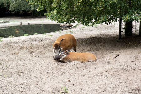 View on two pigs having fun in the sand area in a park in germany