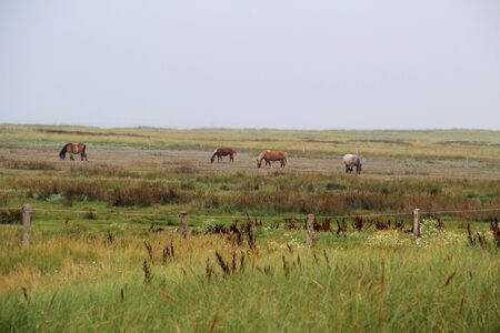 View on horses on a grass area at the northern sea island juist germany Stockfoto
