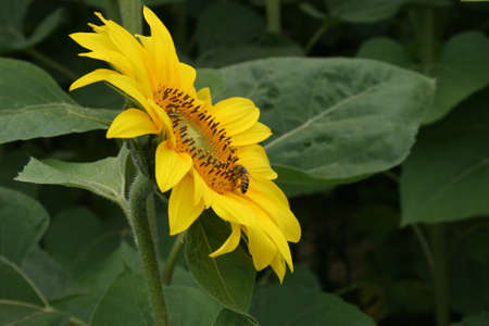 sunflowers with wasp