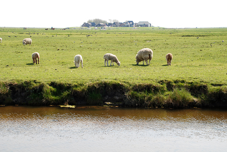 Sheeps on the Hallig Hooge, Germany. The Halligen (singular Hallig) are ten small German islands without protective dikes in the North Frisian Islands on Schleswig-Holstein's Wadden Sea-North Sea coast in the district of Nordfriesland Archivio Fotografico