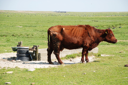 A cow on the Hallig Hooge, Germany. The Halligen (singular Hallig) are ten small German islands without protective dikes in the North Frisian Islands on Schleswig-Holstein's Wadden Sea-North Sea coast in the district of Nordfriesland
