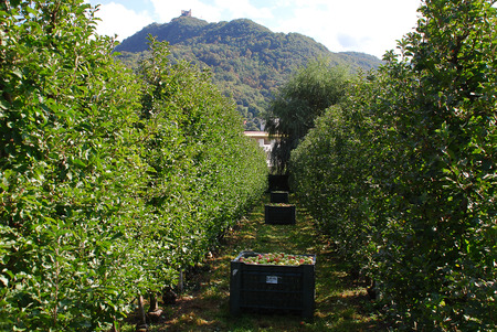 Scenic view of apple orchards near Kaltern town at the South Tyrolean wine route, South Tyrol, Italy