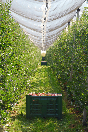 Orchard with Crop Protection Nets in South Tyrol, Italy.