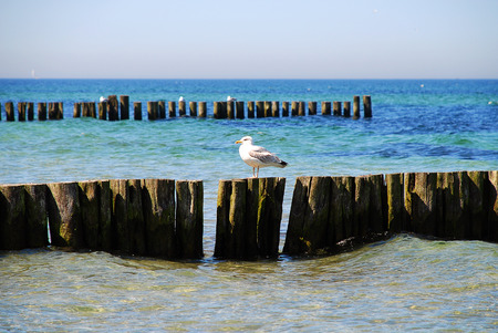 Seagull and Coast protection at the baltic sea (Kuehlungsborn, Germany): groynes. In the ocean, groynes create beaches or prevent them being washed away by longshore drift.