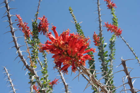 Brand new ocotillo flowers in springtime 版權商用圖片
