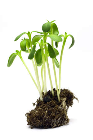 plantlet: isolated plantlet