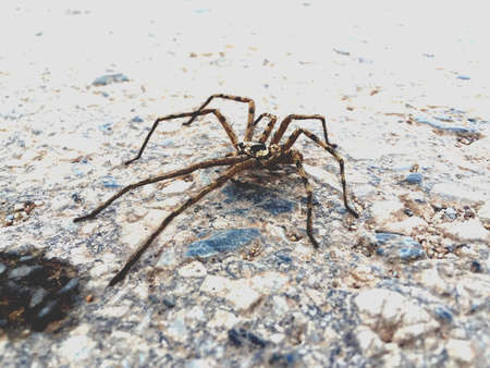 arthropods: Huge spider walking on the road in evening.