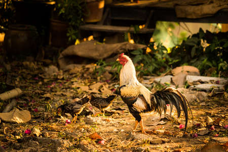 bantam hen: Cock and hen eat dinner. Stock Photo