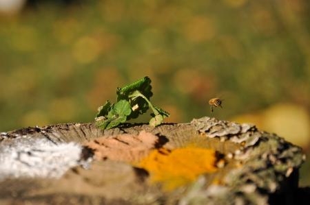 Bee Flying Over Tree Stump Stock Photo