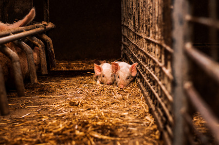 Little pigs laying on hay and straw in barn
