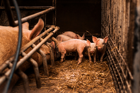 Group of little pigs waiting for food in the pen. Stock Photo