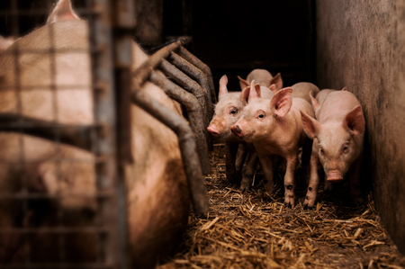 Little pigs with mother in barn.