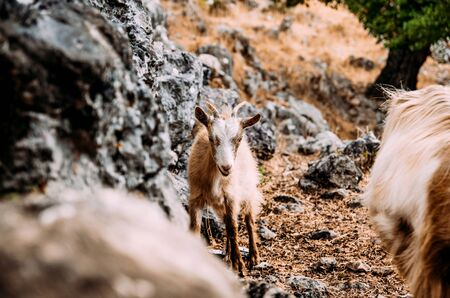 rocky mountain bighorn sheep: Goat standing on rocky side of a hill