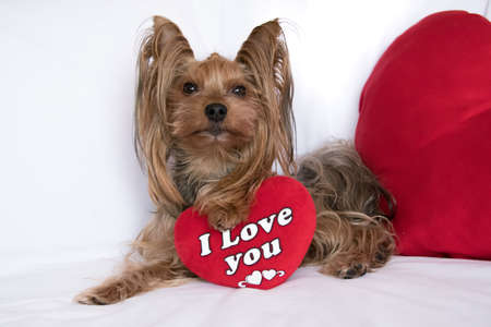 A cute lover valentine yorkshire terrier boy dog with a red hear