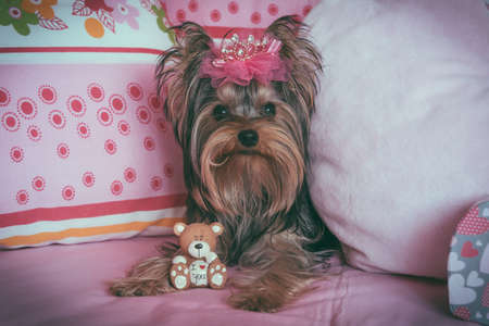 Portrait of a cute yorkshire terrier with crown