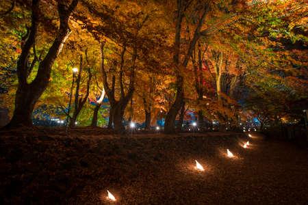 maple trees: The lighting festival showing the red maple trees along Nashi Gawa canal, beside the Kawakuchigo Lake, Japan.