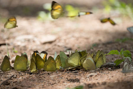 kaeng: Butterflies are feeding mineral at  Kaeng Krachan National Park, Thailand.