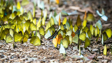 Butterflies are feeding mineral at  Kaeng Krachan National Park, Thailand.