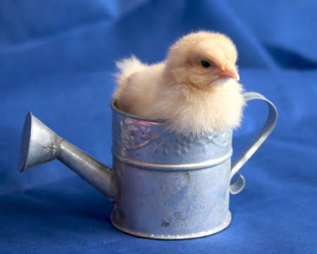 A Bad Day- Buff Orpington  Chick sitting in Watering Can