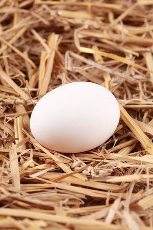 gallina con huevos: Clara de huevo en la paja con el enfoque selectivo en el huevo.